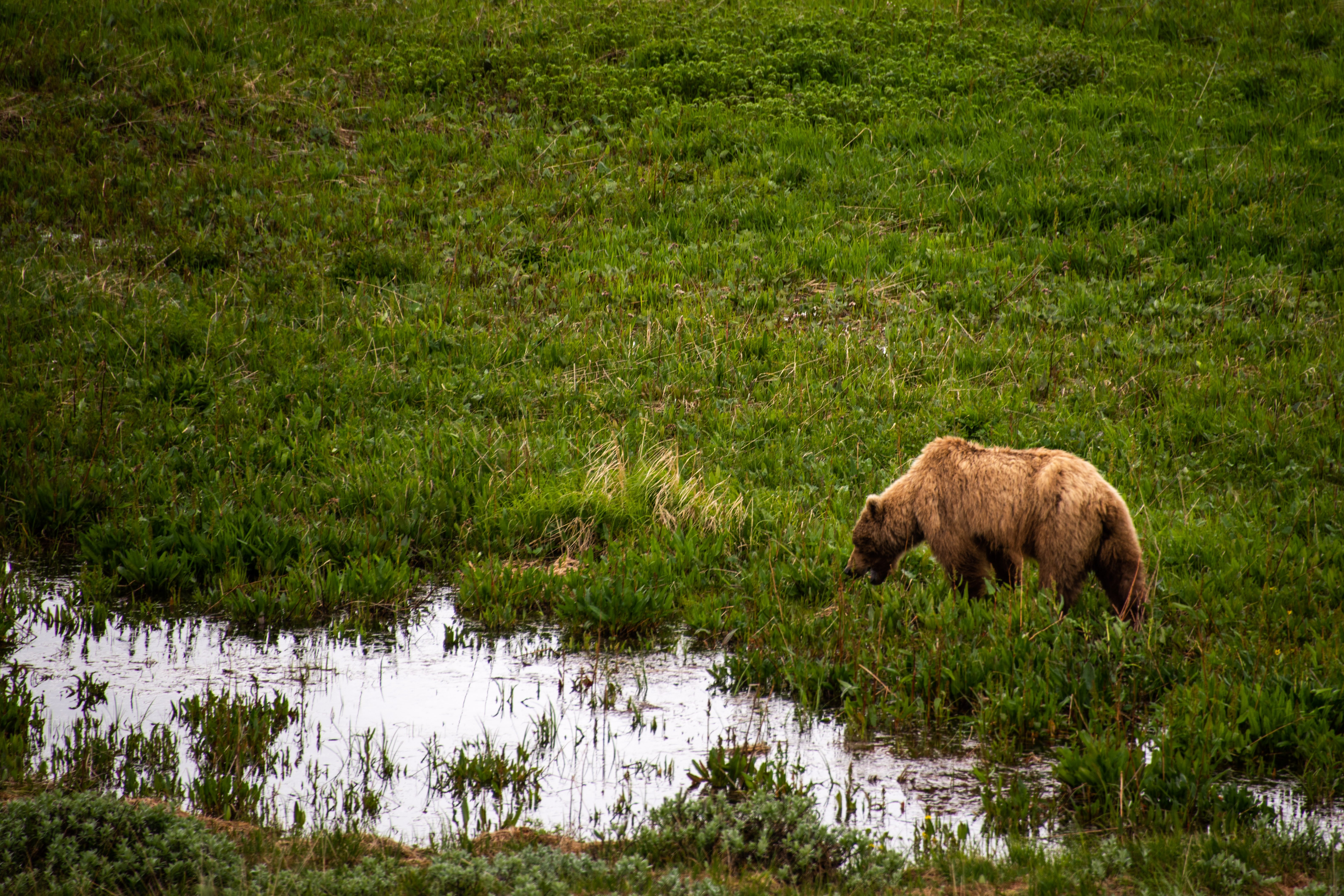 Grizzly Bear wildlife view from shuttle at Denali National PArk by Travel Anubhav.