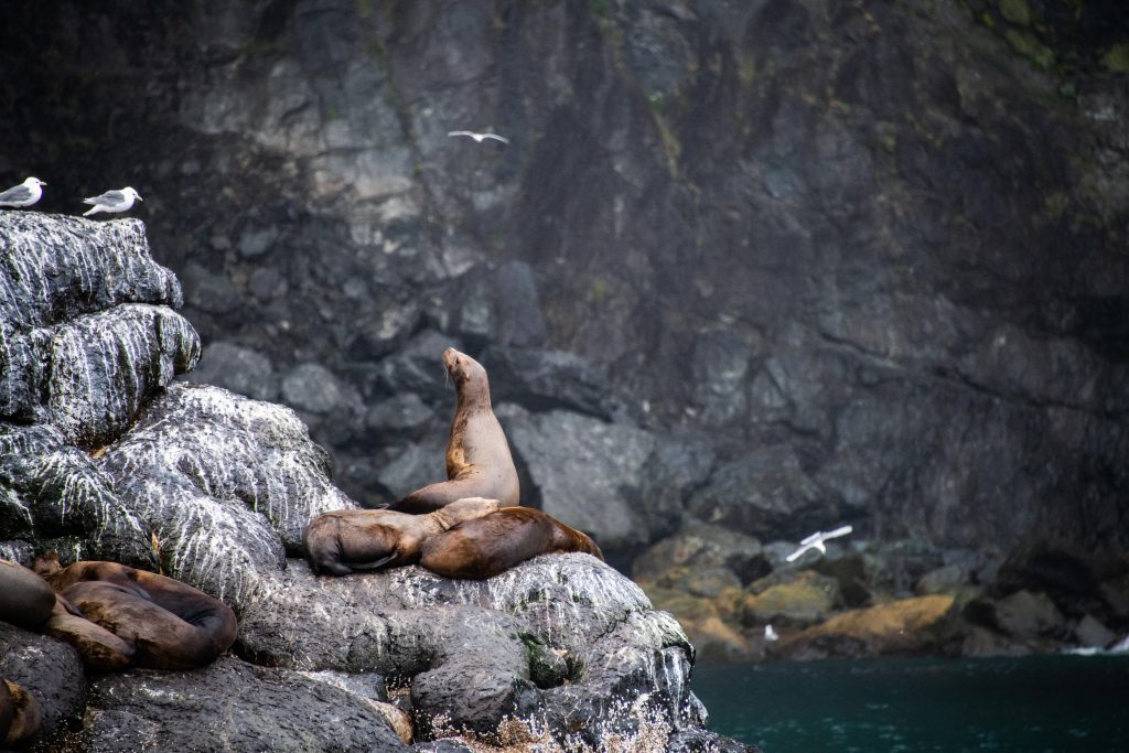 Seal just lying at the rock during our cruise trip to Alaska by TravelAnubhav.