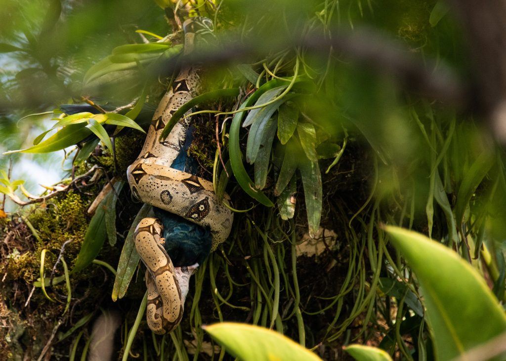 Boa constrictor from Cuyabeno Wildlife Reserve Ecuador by Travel Anubhav.