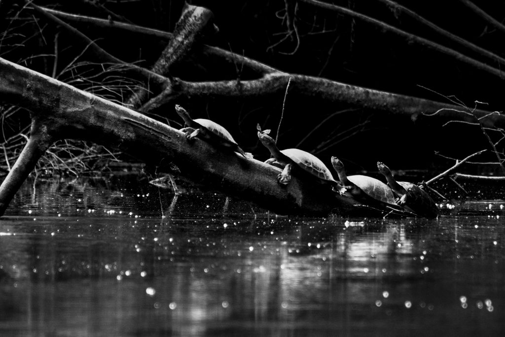 Turtles in the amazon jungles of Ecuador by Travel Anubhav
