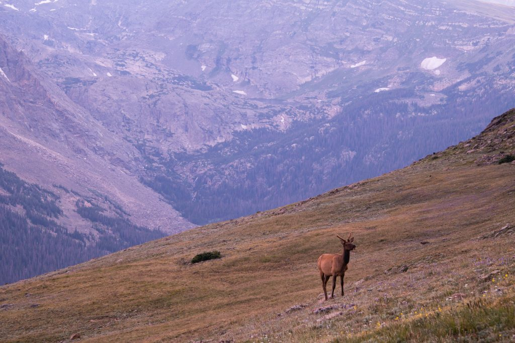Elk in the natural habitat of Rocky Mountain National Park of USA by Travel Anubhav.
