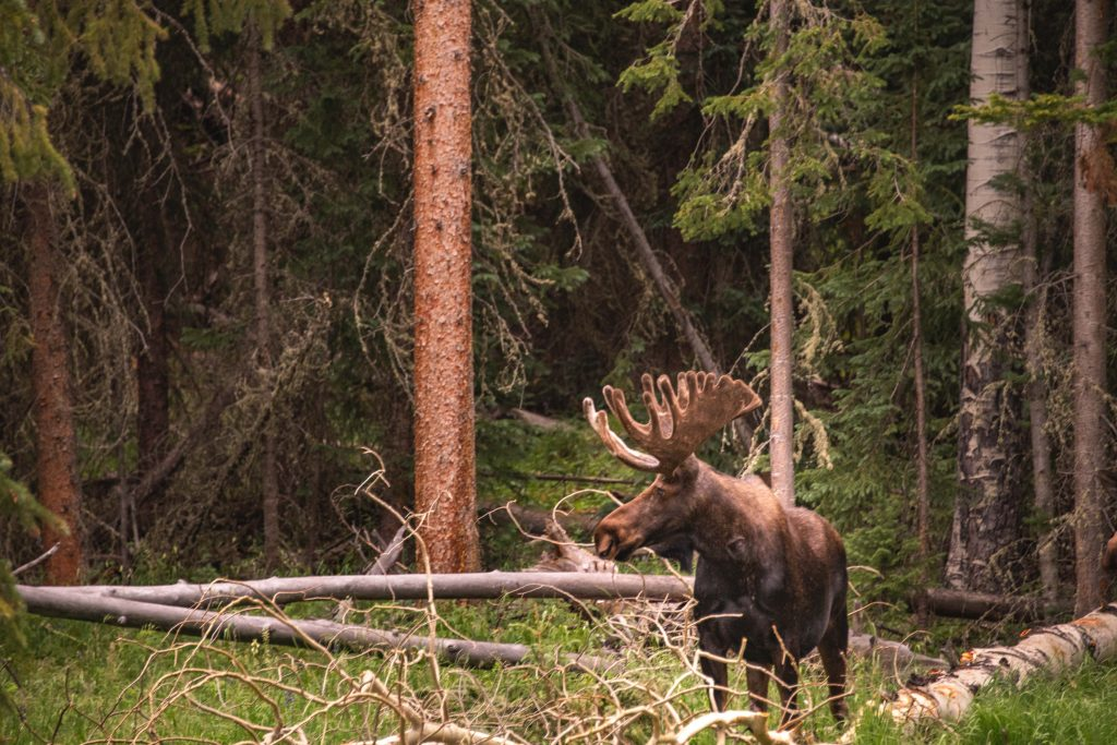Moose in the National Park is our wildlife experience by TravelAnubhav