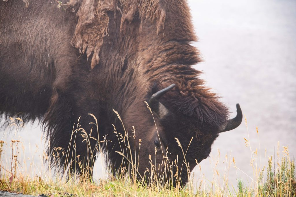 Keep a safe distance but enjoy wildlife Bison in Yellowstone by Travel Anubhav