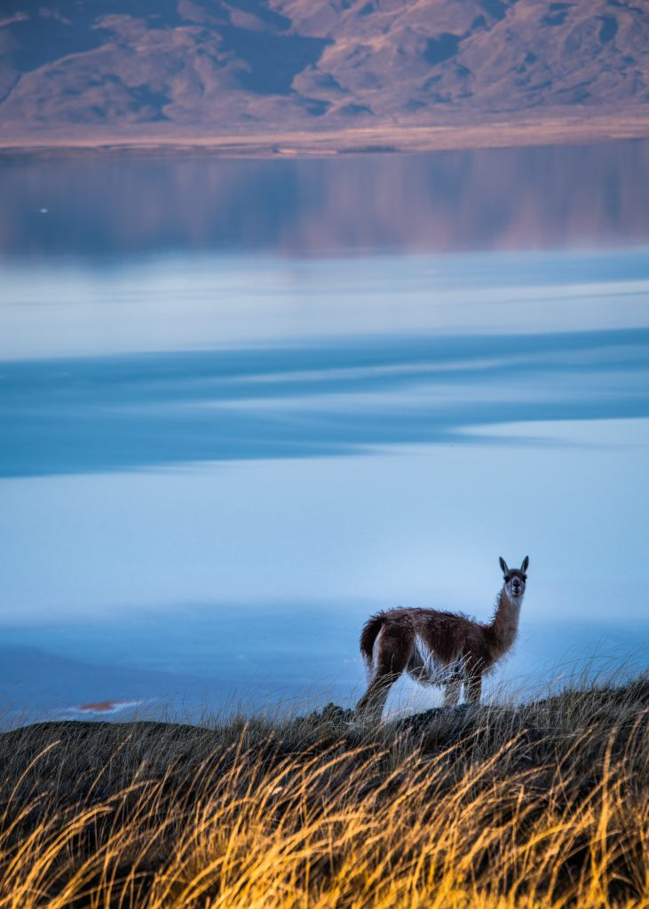 Guanaco also known as Wanaku from Argentina by Travel Anubhav